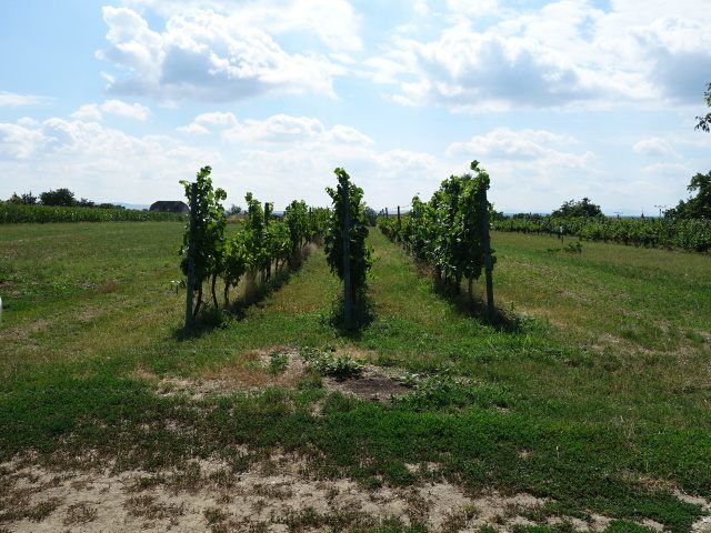 Vinohrad, pohled od cesty