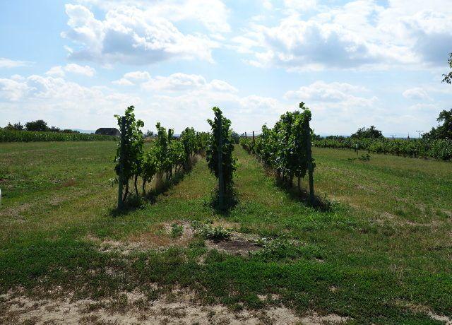 Prodej vinohradu 1 145 m², Týnec