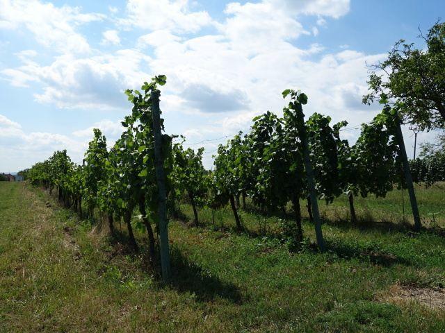 Pravá přední část vinohradu
