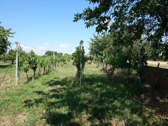 Zadní část vinohradu