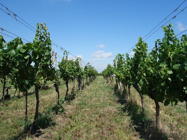 Střed vinohradu směrem k cestě